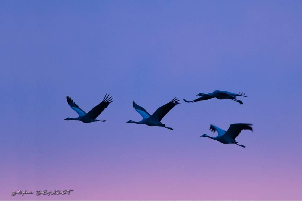 grues cendrées en vol au lever du jour sur le lac du Der Chantecoq